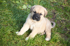 засевайте испанские языки травой щенка mastiff Стоковые Фотографии RF