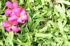 засевайте красный цвет травой leelawadee Стоковое Фото