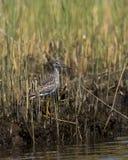 засевайте меньший yellowlegs травой болотоа Стоковые Изображения