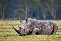 засевайте носорог травой Стоковые Фото