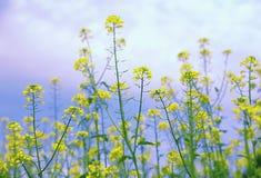 Засевайте ординарность травой сумки ` s чабана, предпосылка цветка, ³ ris búrsa-pastà Capsélla, засоритель травы стоковое изображение rf
