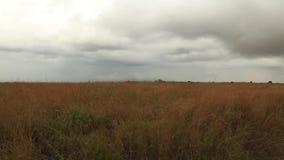 засевайте развевать травой Национальный парк Кении акции видеоматериалы