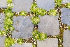 Засевайте расти травой между булыжником в Риме, Италии стоковая фотография