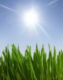 засевайте солнечний свет травой стоковые изображения rf