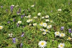Засевайте травой вполне маргаритки вол-глаза - также vulg Leucanthemum маргаритки oxeye Стоковые Изображения