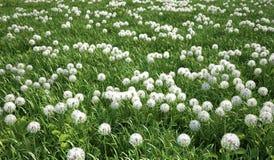 Засевайте лужок травой, взгляд глаза птицы, множество цветков одуванчика. Стоковые Изображения RF