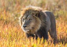 засевайте львев травой Перепад Okavango стоковые изображения rf