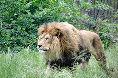 засевайте львев травой Стоковая Фотография