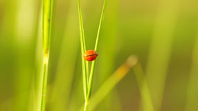 засевайте ladybug травой Стоковое Изображение