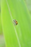 засевайте ladybug травой Стоковое Изображение RF
