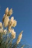 засевайте pampas травой Стоковые Фотографии RF