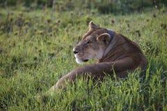 засевайте serengeti травой Танзания львицы лежа Стоковое фото RF