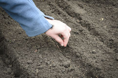 Засевать семена лука Стоковое Фото