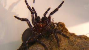 Засовывать паук воронк-сети Сиднея акции видеоматериалы