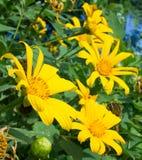 Засоритель мексиканского солнцецвета Стоковое Изображение