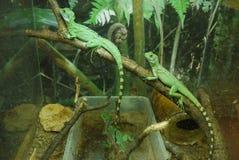 Заставили замолчать 3 зеленых ящерицы с striped кабелями пробовать слить с окружающей средой Стоковое Изображение RF