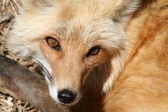 застенчивая лисица Стоковая Фотография