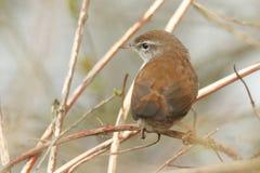 Застенчивое и неуловимое cetti Cettia певчей птицы ` s Cetti садилось на насест на ветви в дереве Стоковое Изображение