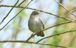 Застенчивое и неуловимое cetti Cettia певчей птицы ` s Cetti садилось на насест на ветви в дереве Стоковые Фото