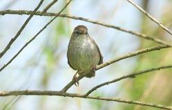 Застенчивое и неуловимое cetti Cettia певчей птицы ` s Cetti садилось на насест на ветви в дереве Стоковая Фотография RF