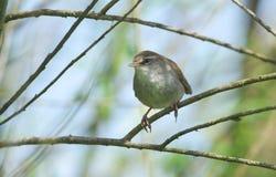 Застенчивое и неуловимое cetti Cettia певчей птицы ` s Cetti садилось на насест на ветви в дереве Стоковое Фото