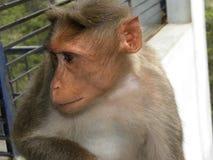 Застенчивое усаживание обезьяны макаки Bonnet Стоковое Изображение RF