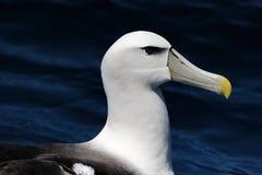 Застенчивый альбатрос Стоковая Фотография