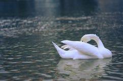 застенчивый лебедь Стоковые Фотографии RF