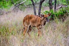 Застенчивый Nyala в подлеске Стоковые Изображения RF