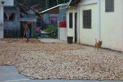 Засыхание кокоса Стоковое Фото