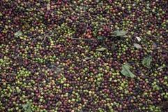 засыхание кофе сырцовое Стоковая Фотография RF