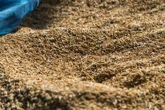 Засыхание неочищенных рисов Стоковая Фотография