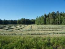Засыхание сена Стоковое Фото