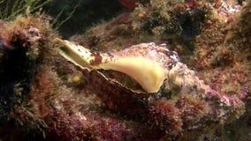 Затворница Карциномы в seashell подводном на морском дне в Галапагос акции видеоматериалы