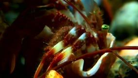 Затворница Карциномы подводная в поисках еды на морском дне белого моря России акции видеоматериалы