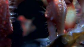 Затворница Карциномы подводная в поисках еды на морском дне белого моря России видеоматериал