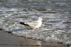 Затворы чайки в воде стоковые изображения
