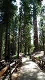 затеняемая секвойя тропы национального парка стоковое изображение