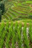 затопленные террасы неочищенных рисов Стоковые Фото