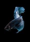 Захватите moving момент голубых сиамских воюя рыб Стоковые Фотографии RF