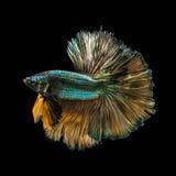 Захватите moving момент золотых медных сиамских воюя рыб Стоковое Фото