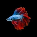 Захватите moving момент красно-голубых сиамских воюя рыб Стоковое Фото
