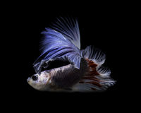 Захватите moving момент красно-голубых сиамских воюя рыб Стоковое фото RF