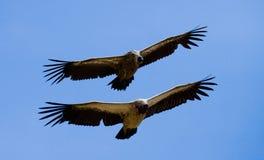 Захватнические птицы полет Кения Танзания сафари Стоковые Фотографии RF