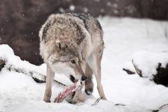 Захватнический волк с частью мяса во рте смотря вокруг пугающе, испуганной для того чтобы потерять добычу snowing стоковое изображение