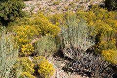Захватывающие заводы кактуса на горном склоне Стоковые Фотографии RF