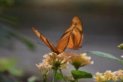 2 захватывающих оранжевых бабочки рябчика залива в природе Стоковое Фото