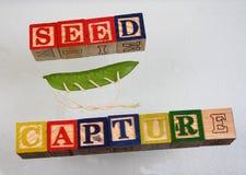 Захват семени термине Стоковая Фотография
