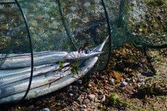 Захваченные рыбы игл в сети Стоковые Изображения