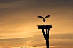 заход солнца аиста полета принимая белизну Стоковые Изображения
